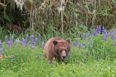 Grizzly in the Flowers