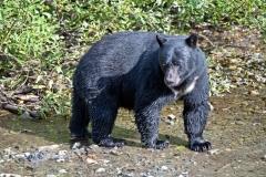 Big-Black-Bear2