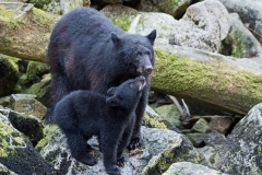 Black Bear Mom and Cub