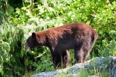 Cinnamon Bear 2