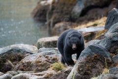 Coastal_Black_Bear
