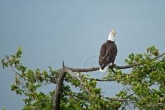 Eagle-Call