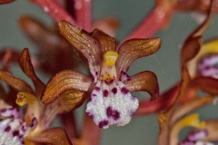 Spotted-Coralroot