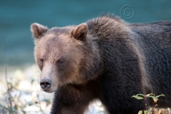 Blue-River-Grizzly