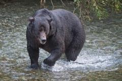 Dog-eared-Bear