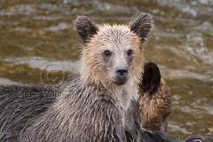 Piggy-Back-Grizzly-Cub