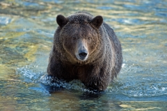 River-Walk-Grizzly