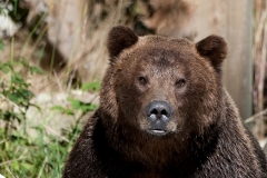 Watching-Grizzly-(Portrait)