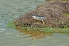 Night-Heron-3