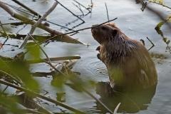 Beaver-Sunset