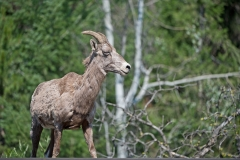Female-California-Bighorn-Sheep