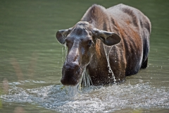 Lady-Moose