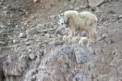 Mtn-Goats