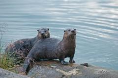 Otter-Pair