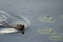 Otter-Sunset