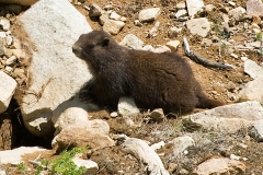 VI-Marmot