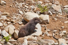 Vancouver Island Marmot 2