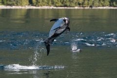 Dolphin_Leap