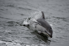 PWS_Dolphin-2