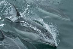 Racing-Dolphin