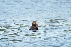 Sea-Otter-4