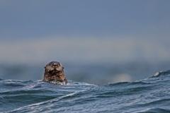 Sea-Otter-5
