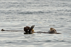 Sea-Otter2