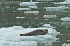 Seal-on-Ice