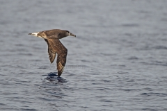 Black Footed Albatross 2