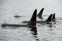 Orca-Pod