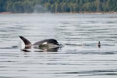 Orca-Rising