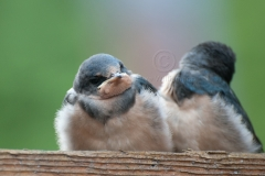 Barn-Swallow-Chicks