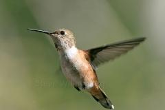 Female-Hummingbird