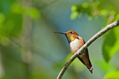 Male-Hummer