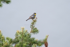 Yellow-Rumped-Wagtail