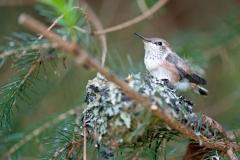 Hummingbird-Chick
