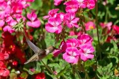Female-Hummingbird 2
