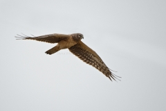 Northern-Harrier-4