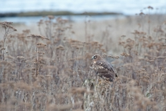 Northern_Harrier_3