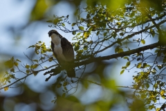 Osprey-in-a-Tree