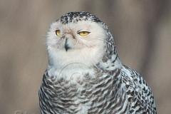 Snowy Owl-Portrait