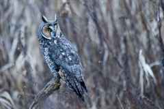 Long-Eared-Owl-at-Dusk