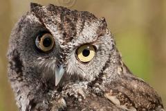 Screech-Owl 2