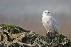 Snowy-Owl-5