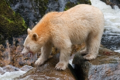 Spirit-Bear-1