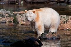 Spirit-Bear-2012