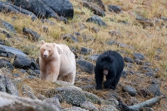 Spirit-Bear-Mom-and-Cub2