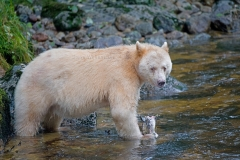 Spirit-Bear-and-Salmon-2