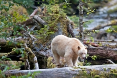 Spirit-Bear-on-a-Log