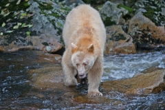 Spirit_Bear_on_the_Prowl